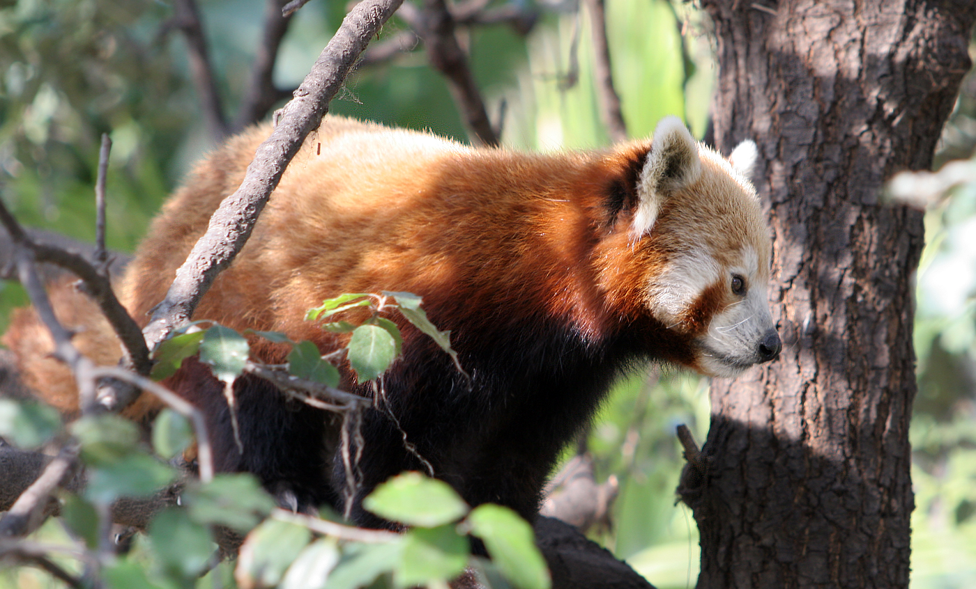Red panda - Zoo Barcelona