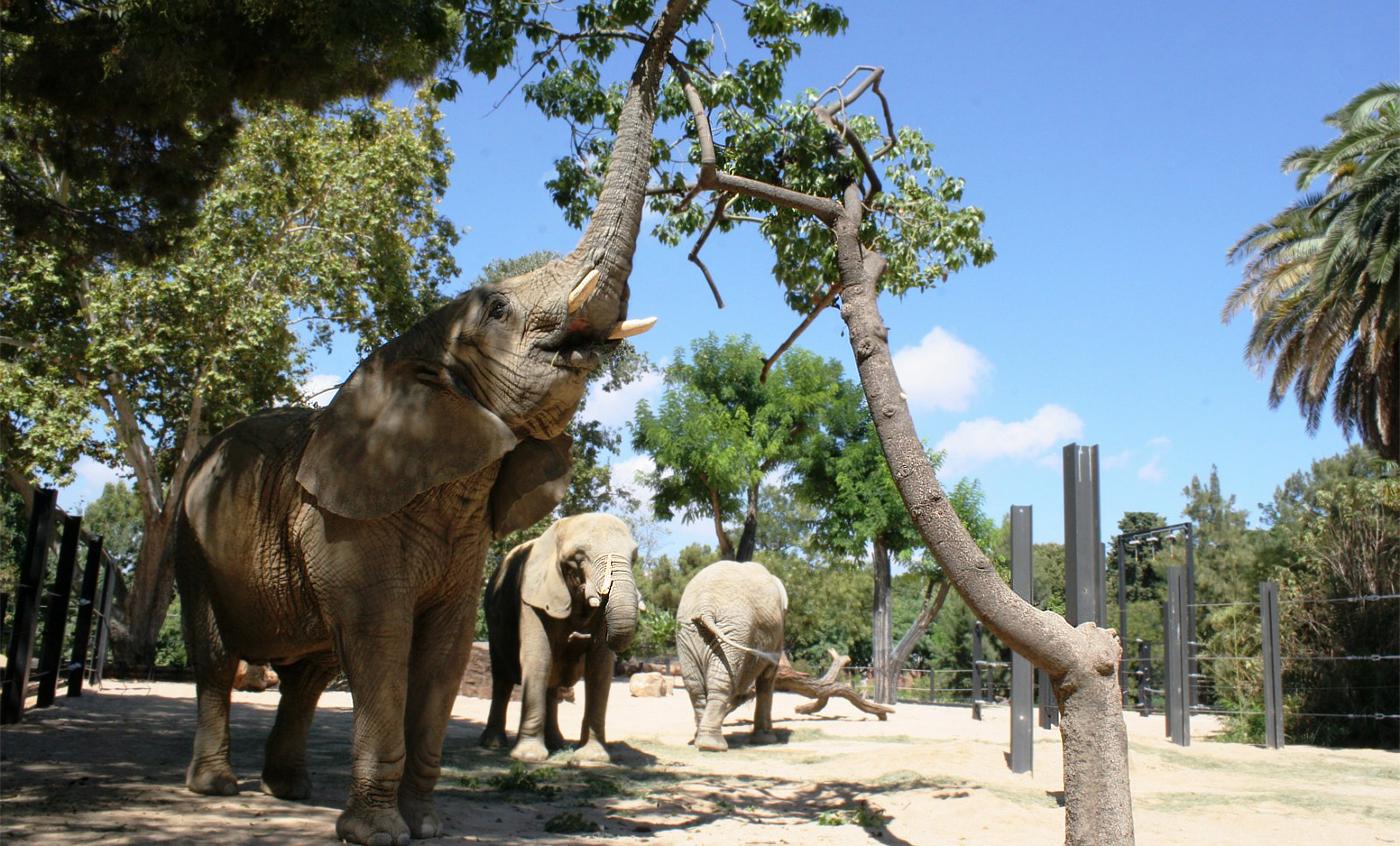 Elefante africano de sabana zoo barcelona for Elephant barcellona