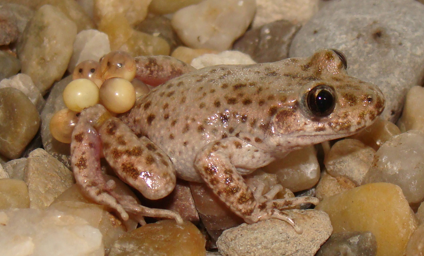 Mallorca midwife toad