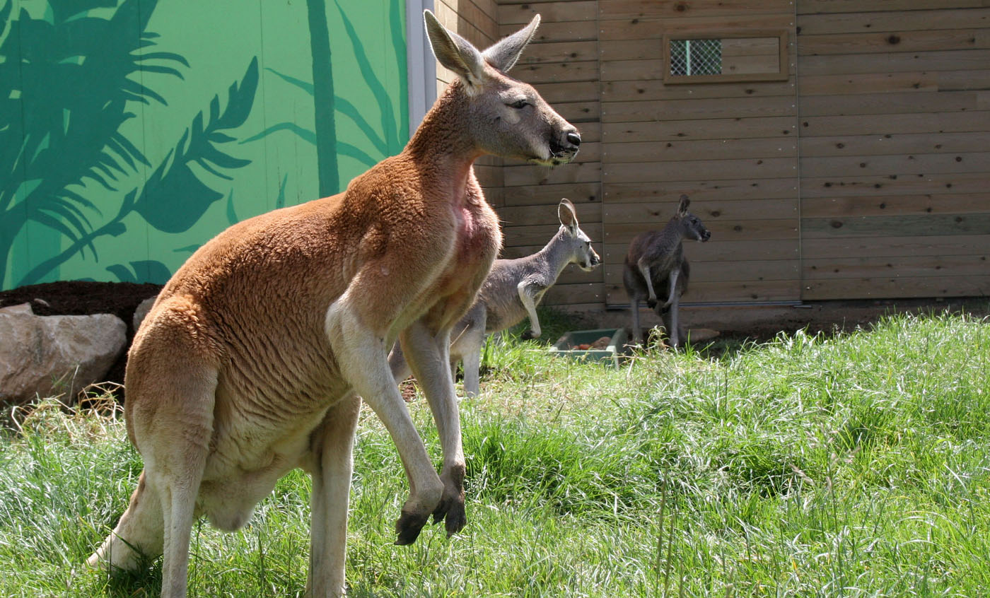 Red kangaroo