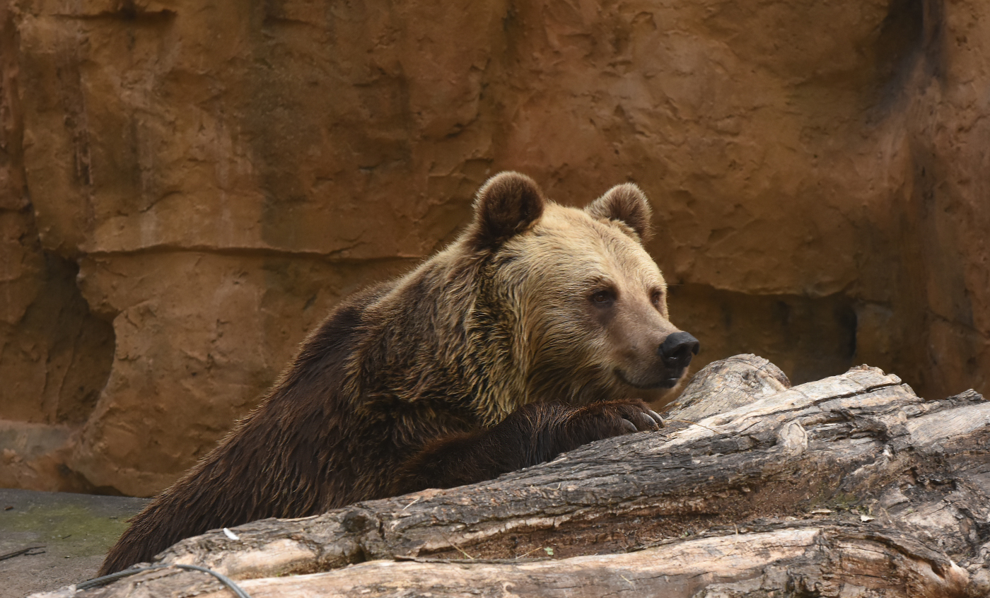 Brown bear - Zoo Barcelona