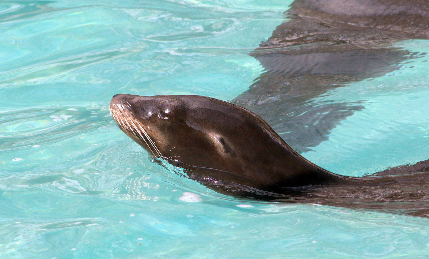 California sea lion - Zoo barcelona