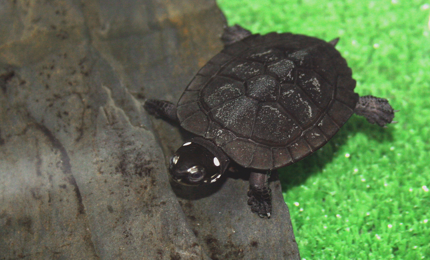 Black marsh turtle