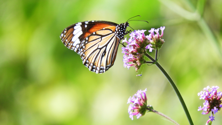 New guide to diurnal butterflies